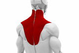 Trapezius - Muscles anatomy map poster