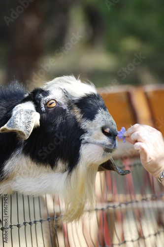 Poster Animals: billy goat, black and white smelling a flower