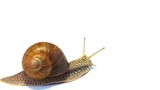 snail crawling on a white background