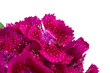 Magenta Sweet William (Dianthus Barbatus) Flowers Macro on White Background