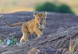 Fototapety Lion Masai Mara