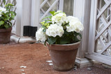 white hydrangea in the pot at the white fence