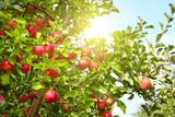 Fototapety Red apples on apple tree branch