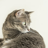 Young tabby cat watching an insect (hunting instinct) poster