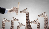 Measuring giraffe