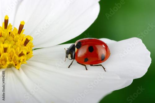 obraz lub plakat Ladybug