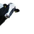 Mucca che guarda - 91962893