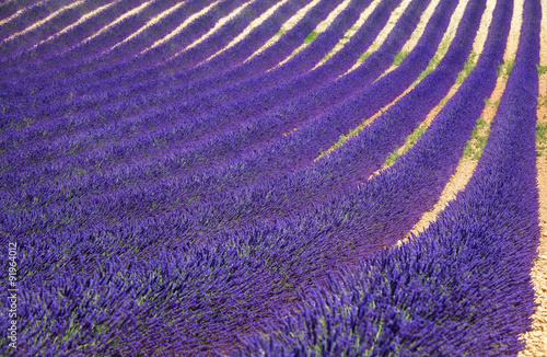 Foto op Canvas Violet Lavender flower blooming fields as pattern or texture. Provence,