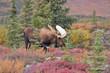 Bull Moose (alces alces) Denali National Park, Alaska