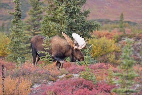Poster Bull Moose (alces alces) Denali National Park, Alaska