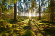 Sunrise in pine forest - 92027264