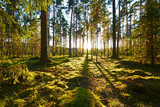 Fototapety Sunrise in pine forest