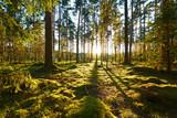 Fototapeta Fototapeta las, drzewa - Sunrise in pine forest © haveseen