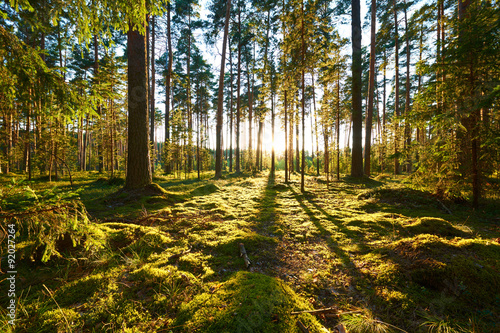 Valokuva Sunrise in pine forest
