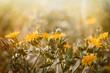 Yellow meadow flowers - wild flower