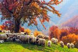 Fototapety Sheep under the tree in Transylvania