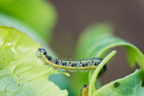 Pieris brassicae caterpillar pest eating leaf, critter called ca poster