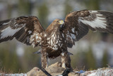 Golden eagle scavenging from a roe deer carcass poster