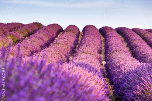 Valensole, Provence, France. Lavender field full of purple flowers © ronnybas