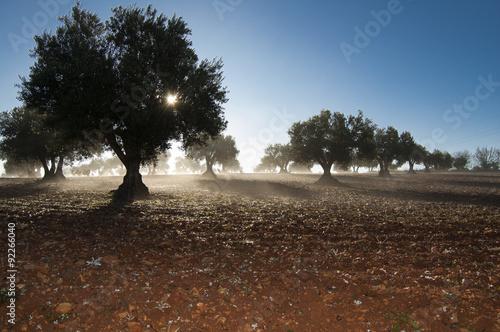 Amanecer en el olivar