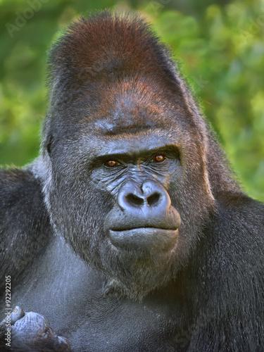 Poster Closeup portrait of a gorilla male, severe silverback, on rock background