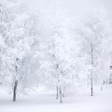 Fototapety Winter forest with snow