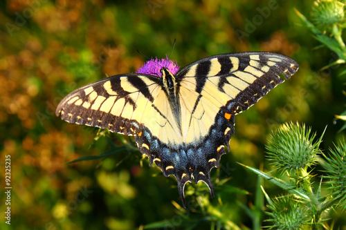 Deurstickers Vlinder Tiger Swallowtail on Flower in Illinois
