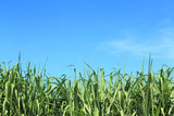 sugarcane and blue sky