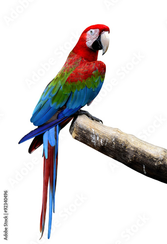 Plexiglas Papegaai Great Green-winged macaw bird perching on the log isolated on wh