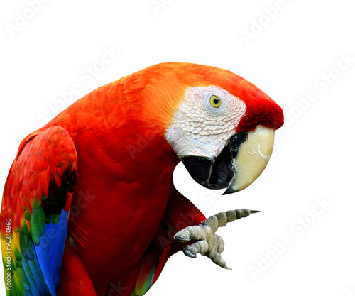 Scarlet Macaw bird showing its foot with funny stances isolated