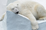 Fototapety Белый медведь.