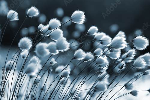 Cotton grass on the lake on a summer evening - 92464434