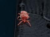 Red Velvet mite on black fingerprinted surface