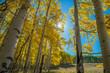 Sunburst through Aspen Grove, Telluride, Colorado