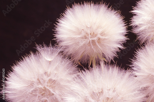 Dandelions close-up on dark - 92493263