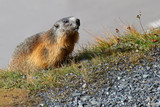 Cute Alpine Marmot at Grossglockner, Hohe Tauern National Park, Austria