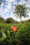 Streuobstwiese mit Apfelbaum und Früchten