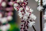 Fototapety Blooming cimicifuga