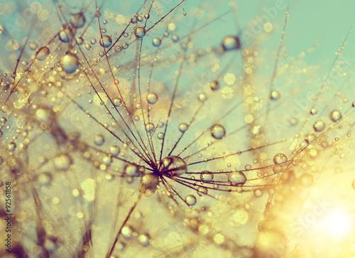 Zdjęcia na płótnie, fototapety na wymiar, obrazy na ścianę : Dewy dandelion flower at sunset close up