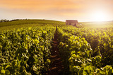 Fototapety Champagne Vineyards at sunset, Montagne de Reims, France