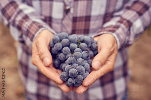 Plagát, Obraz Farmers hands with blue grapes