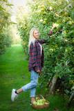 raccolta delle mele Golden Delicious in Valtellina (IT)
