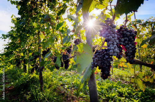 Plakat Ripe wine grapes on vines in Tuscany, Italy.