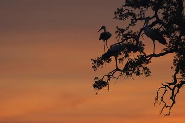 Cigüeñas en posadero para pasar la noche en Parque Nacional de Doñana