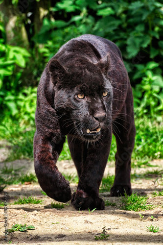 Black Jaguar - Beautiful and elegant cat walking towards the camera