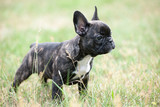 French bulldog puppy outdoors on the grass