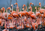 The largest colony of the Caribbean flamingo. Cuba. An excellent illustration.