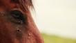 Obrazy na płótnie, fototapety, zdjęcia, fotoobrazy drukowane : Flies on the horse's eyes.