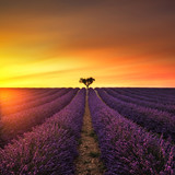 Fototapety Lavender and lonely tree uphill on sunset. Provence, France