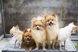 dog family,there are three brown Pomeranian dogs ,mother sister brother.Two friends Chihuehue.